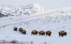 Yellowstone in Winter with Adventure Women