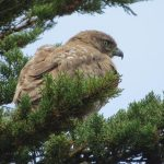 Read tailed hawk spotted on birdwatching trip