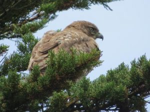 Red tailed hawk spotted on bird watching trip
