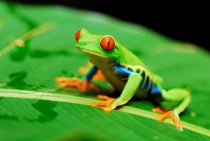 costa rica frog - the wildlife of Costa Rica