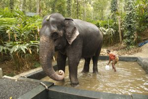 The Elephants of Kerala