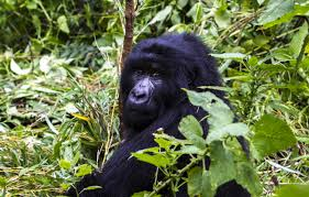 Umoja Motherland Tours - meet the Gorilla families of Bwindi National Park